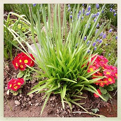 """#spring #garden #red #green #primroses #grape #hyacinth #bloom #flowers • <a style=""""font-size:0.8em;"""" href=""""https://www.flickr.com/photos/61640076@N04/8595163103/"""" target=""""_blank"""">View on Flickr</a>"""