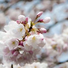 Sakura (Nick Kanta) Tags: flowers color oregon portland cherry flora nikon waterfront blossoms sakura pdx blooms d90