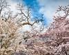 A Cherry Blossom Sky (Sky Noir) Tags: trees sky usa flower festival japan cherry photography japanese dc washington spring blossom unitedstatesofamerica blossoms basin full national bloom 桜 sakura tidal prunus 櫻 さくら serrulata skynoir