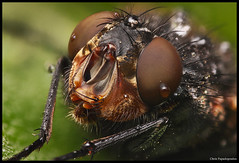 Fly Macro (pap-x) Tags: macro nature closeup canon insect lens fly greece micro reverse 1855 cheap 550d