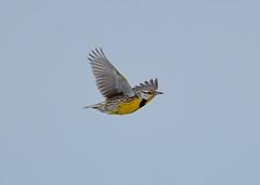 2013-03-30 Rollins Savanna 2 (JanetandPhil) Tags: birds nikon nikkor sturnellamagna d4 easternmeadowlark 60mmf4 rollinssavanna forestpreserves grayslakeil lakecountyforestpreservedistrict 2013forestpreservesvariouslocations lcfpf