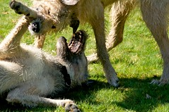 Irish wolfhound fun fest (LUMIN8) Tags: raw irishwolfhound
