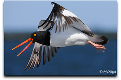 American Oystercatcher (BN Singh) Tags: ocean light sea wild bird beach nature water fly flying wings jetty nj american oystercatcher barnegat avian