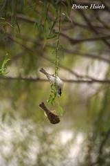 - Sparrow - National Chung Hsing University - Taichung City (prince470701) Tags: taiwan sparrow  sigma70300mm  taichungcity  nationalchunghsinguniversity sonya850
