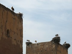 Cicogne. (Vale Shorts) Tags: wall marrakech stork cicogna