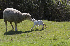 PR3 -  Descoberta de Aboim (Nuno's Photo Warehouse) Tags: portugal nature canon sheep walk natureza birth trail caminhada nascimento fafe trilho ovelha 2013 550d aboim nunofrocha pr3descobertadeaboim
