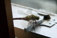 anisoptera at rest (jypsygen) Tags: cold macro window still wings dof close legs dragonfly depthoffield rest resting pane predator latch atrest mosquitoeater anisoptera windowlatch
