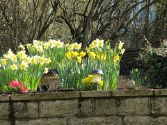 My Garden (ShelaghW) Tags: nature gardens scotland spring seasons bulbs mygarden myhome daffodils springtime containers containergardening windowledges shelaghw