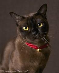 burmese cat (www.stonemeadow.com.au) Tags: portrait pet brown cute beautiful yellow cat studio fur grey eyes feline chocolate domestic breed burmese playful yelloweyes pedigree canonef28135mmf3556is