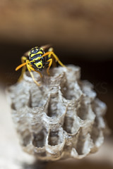 Paper Wasp Queen (McCarthy's PhotoWorks) Tags: macro nature paper insect wasp nest wildlife queen hornet supermacro colony entomology vespidae petiole polistesdominula