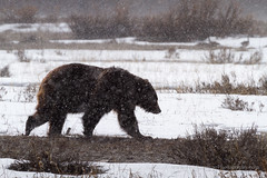 Grizzly Bear in Late Winter Storm (Free Roaming Photography) Tags: bear usa snow storm west male weather animal silhouette season walking fur mammal nationalpark spring adult walk wildlife profile snowstorm northamerica wyoming predator snowfall moran boar grandteton jacksonhole winterstorm precipitation grizzlybear grandtetonnationalpark willowflats