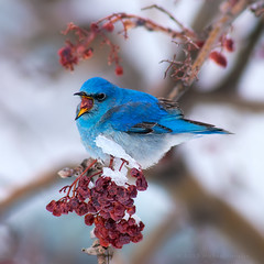 Blue Berry Blizzard (Fort Photo) Tags: winter snow bird ice nature birds square berry nikon colorado berries feeding eating wildlife birding fortcollins ave co bluebird ornithology squarecrop avian mountainash larimer d300 passeriformes mountainbluebird turdidae sialia sialiacurrucoides currucoides