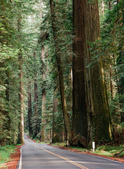 Avenue of the Giants II (bior) Tags: film forest kodak redwood redwoodtrees sequoia humboldtcounty kodakfilm ektar redwoodforest avenueofthegiants 150mm kodakektar 6x45cm pentax645nii ektar100 sequoiaredwood