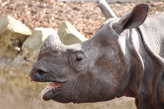 Rhino (PinziPie) Tags: animals zoo penguin meerkat edinburgh eagle rhino pandas edinburghzoo