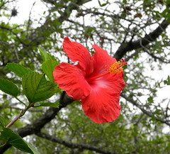 'President' tropical hibiscus needs more sunlight (pawightm (Patricia)) Tags: austin texas hibiscusrosasinensis inmygarden centraltexas tropicalhibiscus redhibiscus mixedborder backyardborder pawightm midaprilgarden hibiscuspresident rscn8928
