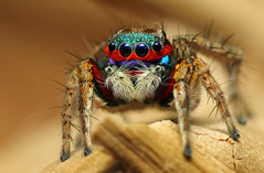 Colorful Jumping Spider (karthik Nature photography) Tags: macro nature animals closeup forest canon garden outdoors photography spider spiders wildlife web spiderweb sigma insects jumpingspider macrophotography salticidae macroworld wildindia spiderworld insectphotography macrolife spiderphotography malejumpingspider beautifulspiders jumpingspidersoftheworld beautifuljumpingspiders jumpingspidersofindia
