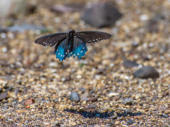 Flight Of The Butterfly (Eric Dugan) Tags: shadow northerncalifornia spring nikon flight butterly april d600