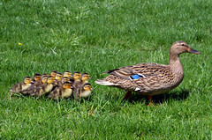 Mallard Ducklings (Scott Kinmartin) Tags: summer baby cute bird grass animal female duck spring buffalo babies duckling adorable sunny row chick mallard quack foul mallardduck cutenessoverload ducksinarow femaleduck