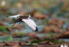 jacana flying (Roshana Prasad) Tags: wild lake green bird nature water birds animal animals flying nikon action wildlife ngc 300mm d750 jacana
