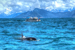 Orca Whale, Kenai Fjords National Park (Bob.Z) Tags: art alaska us unitedstates centre national whale orca seward fjords dominion fairmonthotel vancouverartgallery hotelvancouver nvancouver vancouverfairmont gallerytoronto usausalaskasewardkenaifjordnationalparkkenai parksealsglaciers torontodomi