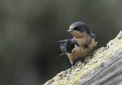 Barn Swallow (martytdx) Tags: sanfrancisco ca birds lifelist birding july fremont swallow barnswallow hirundorustica hirundinidae tachycineta donedwardsnwr