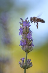 My friends and I, we love lavender (hans_polet) Tags: 105mm nikkor105mmf28gvrmicro wow