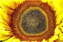Sunflower Macro (robinta) Tags: flower floral petal sunflower summer pentax ks1 sigma70300mmapo macro closeup detail colour contrast petals vibrant
