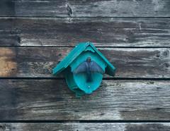 DSC_1513-Edit.jpg (darkskyviewer) Tags: bluebird plaisance merlebleu
