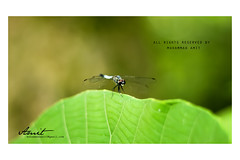 amitphotography_1694 (Muhammad Amit) Tags: outdoor macro amit photogaphy dragon fly