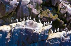 Common Murres, Witless Bay, Newfoundland (klauslang99) Tags: klauslang nature naturalworld canada common witless bay newfoundland rock atlantic murres
