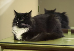 Silky on Dresser_4 (dblees) Tags: cat gato chat kitty  koka kat kissa katze gatto kot pisic maka katt  kedi con mo       gata