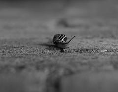 P1000650 (CamMonkeh) Tags: snail rain bokeh rokkor 50mm black summer flowers bugs garden waterdrops mollusc wall shallowdof