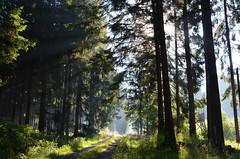 DSC_3105 Morgenspaziergang im Mrchenwald - Morning walk in the fairy forest (baerli08ww) Tags: germany deutschland rheinlandpfalz rhinelandpalatinate westerwald westerforest wald forest sonnenaufgang sunrise sommer summer licht light natur landschaft landscape nikon
