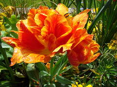TULIPES composees sang et or - DAX. (01937100-Thanks for your 2 MILLIONS visits.) Tags: sang et or tulipe printemps