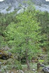 Betula sp., Tianbao Shan June 2016 (Aidehua2013) Tags: betula betulaceae fagales unidentified unidentifiedplant birch tree tianbaoshan yunnan china