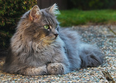 Clean and fluffy (FocusPocus Photography) Tags: fynn fynnegan katze kater cat chat gato tier animal haustier pet garten garden