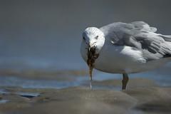 Ring-billed Gull (maxime.pitchon) Tags: gulls massachusetts plumisland cranebeach
