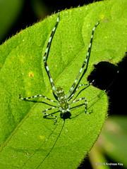 Harroweria sp. (Ecuador Megadiverso) Tags: harroweriasp jardinecobotanicomindo katydid mimicry mindo nymph orthoptera spidermimic tettigoniidae andreaskay ecuador