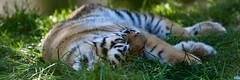 Amur Tiger Cub - Marwell Zoo (Stephen Hersee) Tags: marwell zoo hampshire uk england nikon d7200 200500mm 200mm 500mm 200500 amur tiger cub