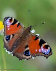 Colors of summer (Timo Halonen) Tags: aglais io neitoperhonen peacock butterfly vlinder tagfalter farfalla papillion fjril liblikas sommerfugl nikon dx tokina 100mm macro tokina100mmf28atxprod11macro