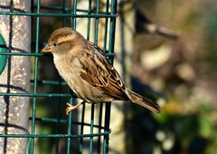 Sparrow (careth@2012) Tags: nature wildlife beak feathers sparrow