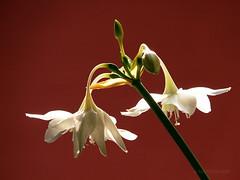 Lirio del Amazonas (Eucharis Grandiflora) (marthahari) Tags: flor flower liriodelamazonas naturaleza airelibre mxico contraste