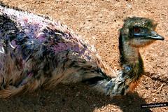 Bebito de pajarito... te est mirando (ViajesyLugares) Tags: animales viajesylugares avestruz buol valencia espaa