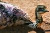 Bebito de pajarito... te está mirando (ViajesyLugares) Tags: animales viajesylugares avestruz buñol valencia españa
