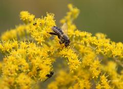 24-IMG_4568 (hemingwayfoto) Tags: august biene blhen blte blume gelb goldrute goldrutekanadische insekt lebewesen solidagocanadiensis tier