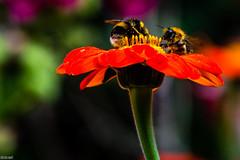 Team work! (Tony McD) Tags: bee erddig wrexham wales nikon nikkor d610 105mm f28g nikonfilter nationaltrust