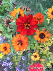 September 8, 2016 - Beautiful flowers in one Thornton yard. (Mary Lindow)