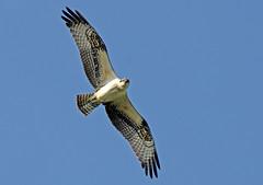 Osprey (kconnelly03) Tags: osprey nj newjersey