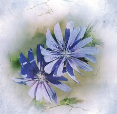 Composition in blue (barbe-de-capucin) (mamietherese1) Tags: texture magicunicornverybest phvalue world100f dreamy soft pastel
