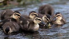 Pacific Black Ducks (blachswan) Tags: ballarat victoria australia lakewendouree spring swans blackswan cygnet blackswancygnet cygnets blackswancygnets pacificblackduck blackduck ducklings anassuperciliosa